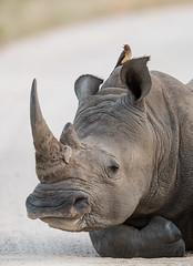 Calling All Rhinos! (ImagesOfTheWild) Tags: africa ceratotheriumsimumsimum southafrica southernwhiterhinoceros mammal nature rhino whiterhinoceros wild wildlife redbilled oxpecker buphagus erythrorhynchus