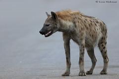 Alpha female Spotted Hyena (leendert3) Tags: leonmolenaar southafrica krugernationalpark wildlife nature mammals spottedhyena ngc npc coth5