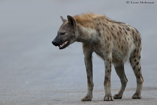 Alpha female Spotted Hyena