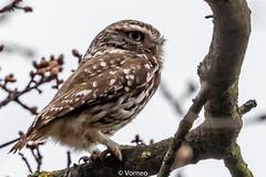 LittleOwl-0005.jpg (vorneo) Tags: wildbird kingdomanimalia birdofprey owl binomialnameathenenoctua littleowl bird speciesanoctua phylumchordata familystrigidae orderstrigiformes classaves genusathene