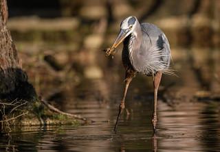 Heron and Crawfish - 2