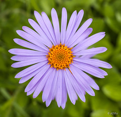Aster altaicus in front of green grass (adp_cz) Tags: e0001 aster bloom blooming blossom botanical botany circle closeup color colorful day detail environment flora flower fresh freshness garden gardening grass grow growing health herb lavender lawn leaf meadow natural olivegreen orange outdoor oxeye peace petal pink plant pollen pretty pure purple rural seasonal single spring summer sunny vibrant weed wildflower