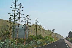 road among blooming agaves :) (green_lover) Tags: road agave tenerife canaryislands spain landscape plants travels vanishingpoint