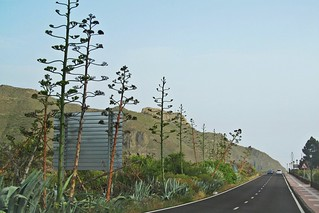 road among blooming agaves :)