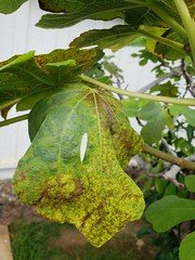 Fig: Rust and mosaic (Plant pests and diseases) Tags: edible fig rust mosaic virus cerotelium fici leaf leaves fmv