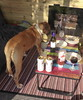 Reba is Teetotal (andreboeni) Tags: reba boxer dog chien hund perros hunden dogs chiens