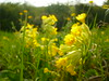 Schlüsselblumen-Wiese (Jörg Paul Kaspari) Tags: euren trierweiler wiese meadow schlüsselblumen primula veris primulaveris schlüsselblume blüte blüten wildflower wildblume