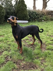 Dobermann Pinscher Saxon Playing Game of Thrones (firehouse.ie) Tags: boy puppy k9 animal sword gameofthrones dog male saxon pinscher pinschers dobermans doberman dobermanns dobermann dobeys dobey dobies dobie dobes dobe