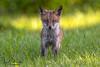 Covered in Dew... (ThruKurtsLens.com) Tags: fox kitfox kits kurtwecker nature naturephotographer nikon spring thrukurtslenscom wildlife wildlifephotographer