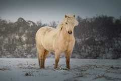 Snow White (Laurent BASTIDE Photographies) Tags: snow white iceland landscape horses mood fineartphotography canon 70200 canon6d canonphotographers