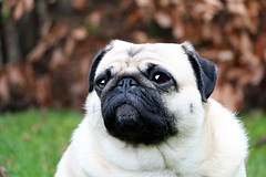 Mopsie (petsandpics) Tags: dog animal animals dogs pug eyes