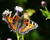 Small Tortoishelle (eric robb niven) Tags: ericrobbniven small tortoishelle butterfly scotland insect fife cupar macro nature