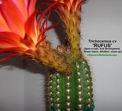 Trichocereus hybrid 'RUFUS' (Pic #5 crown, apex, bud development detailed) (mattslandscape) Tags: rufus mex 35 klauspeter mügge mugge tricho kakteen trichocereus cv hybrid hybride cactus echinopsis flower floweringcactus flowers flickrechinopsisbloomgroup bloom blooms bloomingcactus bloompictures kaktuz mex35