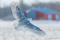 Winter lingers (Earl Reinink) Tags: bird animal wildlife nature earl reinink earlreinink winter owl raptor predator wings eyes barn snow snowyowl oehdududza