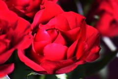 DSC_8984 (PeaTJay) Tags: nikond750 sigma reading lowerearley berkshire macro micro closeups gardens indoors nature flora fauna plants flowers bouquet rose roses rosebuds