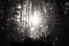 light blooms (birdcloud1) Tags: forest woods equinox light lightanddarkness balance trees blackwhite monochrome canoneos80d eos80d canon1855mmlens 1855mmlens amandakeoghphotography amandakeogh birdcloud1 niksilverefex wood nature sun flare mandala bloom