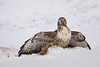 Buzzard on fox carcass (ToriAndrewsPhotography) Tags: buzzard fox kill carcass sweden south photography andrews tori snow eating bird