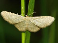 Idaea pallidata - Малая пяденица бледная (Cossus) Tags: geometridae idaea sterrhinae пяденица 2009 фенёво