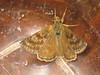 Erynnis tages - Dingy skipper - Тагес (Cossus) Tags: erynnis hesperiidae pyrginae 2007 форос толстоголовка skipper