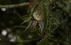 'Eriophora' in retreat (dustaway) Tags: caseylanescrub coraki richmondvalley richmondriverfloodplains northernrivers nsw nature australia arthropoda arachnida araneae araneomorphae araneidae araneinae eriophoratransmarina orbweaver australianspiders