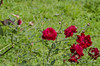 DSC_4971Ninfa  : Rose Rosse Agrippina (sandromars) Tags: italia lazio latina ninfa roserosseagrippina