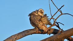 Snowy Preening (Hanzy2012) Tags: nikon toronto ontario canada wildlife bird owl snowyowl buboscandiacus afsnikkor500mmf4difedii d500 nature wild