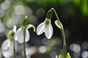 snowfall? (christiaan_25) Tags: snowdrops galanthus amaryllidaceae flower wildflower bloom blossom petals white green sunshine stems sunlight sunny spring bokeh nature explore mar302018 77