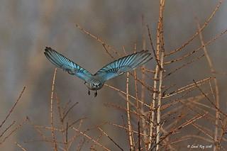1.25755 Merlebleu azuré / Sialia currucoides / Mountain Bluebird