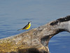 sei mio! (maurizio.s.) Tags: uccello bird caccia cacciatore blu yellow cutrettola hunter hunting riserva naturale regionale sentina marche san benedetto del tronto