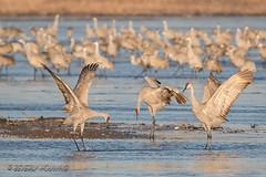 Sandhill_Cranes-37 (Beverly Houwing) Tags: nebraska sandhillcranes plattriver migration spring birds conservation cranetrust sanctuary protected bow gesture communicate land grey gray unitedstates midwest
