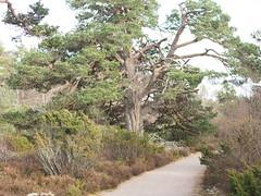 P4050111 (jameskendall2) Tags: aviemore caledonianforest woodland ancientwoodland winter cairngormnationalpark cairngorms