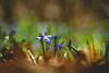 Spring Awakening (preze) Tags: scillasiberica siberiansquill woodsquill sibirischerblaustern nickendesternhyazinthe nickenderblaustern sibirischesternhyazinthe spring frühling springtime flower pflanze plant blüte blossom flora blütenblätter petals blume bokeh