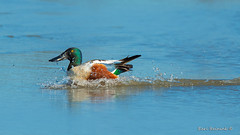 Shoveler Splashdown (Earl Reinink) Tags: bird animal waterfowl duck earl reinink earlreinink water blue lake swimming outdoors shoveler northernshoveler hurdidhdza