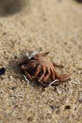 Muerta (Andrea Padíz) Tags: jaiba cangrejo playa beach strand spiaggia