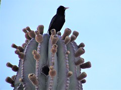 Blackbird singing (thomasgorman1) Tags: cactus flowers bird blackbird nature wildlife canon baja mx mexico