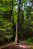 A Walk in an Old Growth Forest (1D) (ssepanus) Tags: sepan pa pennsylvania clarion cookforest statepark canon eos 1d ancientforest trail