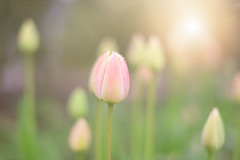 Tulips Beginning... (KissThePixel) Tags: tulips tulip pinktulip pink pastel pastels soft flower flowers pinkflowers pinkflower pinktulips spring april thursday light sunlight garden mygarden cottage cottagegarden beautiful beauty bokeh bokehlicious dof depthoffield dofalicious nikon nikond750 50mm f14 softbokeh