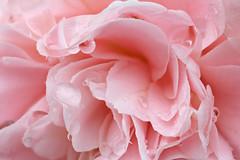 Camellia #2 (Lord V) Tags: flower camellia