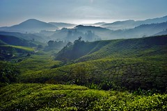 Cameron Highlands - Boh Tea Plantation 15 (luco*) Tags: malaisie malaysia cameron highlands thé montagnes mountains hills collines arbres trees matin morning mist brouillard boh tea plantation