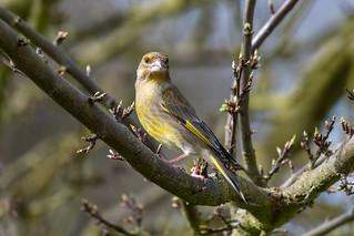 Greenfinch  -  Grünfink ♁
