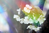 World through a prism... (raffaella.rinaldi) Tags: prism light colors flowers cherry white spring nature optical dispersion
