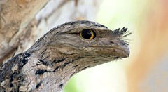 Tawny Frogmouth (Michael Aagaard Photography) Tags: animal animals australia australian bird birds black background cdu darwin d5200 eye eyes flash macro nt night nikon nocturnal northern territory outback outdoor outdoors podargus strigoides tawny frogmouth color colorful colour colourful owl portrait yellow charlesdarwinuniversity nikond5200 nikon200500 podargusstrigoides bokeh camoflage camouflage camo dof depthoffield lowdepthoffield rapidcreek paperbark casuarinacoastalreserve northernterritory tropics tropical australasian podargusstrigoidesphalaenoides tawnyfrogmouth