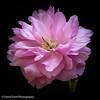 Cherry Blossom (daviddent1) Tags: flower cherryblossom floraandfauna macro photostacking helion