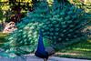 I see you (MJ6606) Tags: bird peacock winter backyard florida