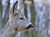 Szelíd őz az erdőben / Tame roe in forest (eR.A.) Tags: tame roe deer forest nature nikon d610 nikkor 70200 nikonflickraward