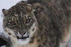 Snow Leopard (ritchey.jj) Tags: leopard