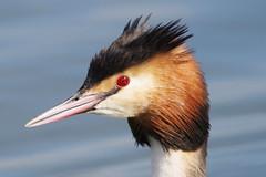 Grebe Up Close (Hugobian) Tags: great crested grebe bird birds british nature wildlife fauna lake fairlands valley park pentax k1