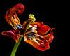 Flying to the sky. (BirgittaSjostedt) Tags: tulip flower closeup texture macro bright birgittasjostedt