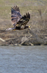 Young eagle picks up lunch at Winton Lake.