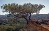 Torrey Pines State Natural Reserve, CA (SomePhotosTakenByMe) Tags: baum tree pflanze plant flora torreypines torreypinesstatenaturalreserve statenaturalreserve urlaub vacation holiday usa america amerika unitedstates california kalifornien sandiego outdoor natur nature
